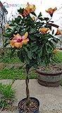 Auf Verkauf. 100Stück HIBISKUS Samen 24Arten Farbe Bildschöne rosa-sinensis Blumensamen mehrjährig Blume Baum getopft Garten Pflanzen Shown In Desc dunkles kaki