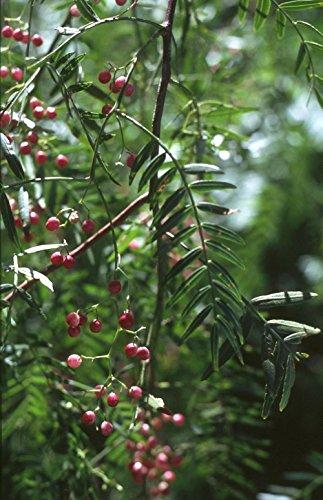 35 Samen von Schinus molle, Peruanischer Pfefferbaum Rosa Pfeffer ()