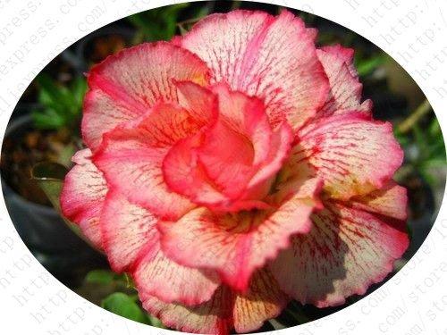 100-vero-deserto-semi-di-rosa-piante-ornamentali-balcone-bonsai-fiori-in-vaso-semi-adenium-obesum-se