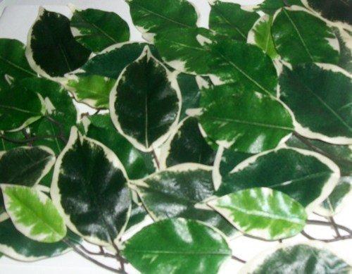 Kunstblätter Seide 250 Stück Blätter Ficus Hochzeit Basteln