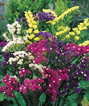 Seed-start-mix (Farmerly 250 Seeds of Statice Premium Mix Flower Seeds Garden Starts Nursery)