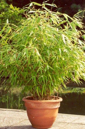 6 X Bambus Pflanze ...