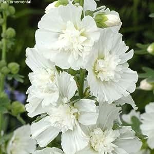Lot de 5 Alcea rosea (rose trémière) Spring Celebrities White