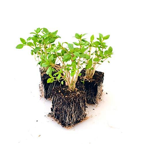 Kräuterpflanzen - Bohnenkraut - Satureja hortensis - Lamiaceae - 6 Pflanzen