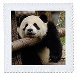 Danita Delimont–Bears–Giant Panda Bears, wolong