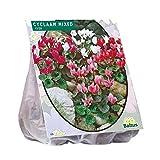 Cyclaam gemischt 5 Stück Alpenveilchen Blumenzwiebel