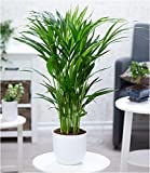BALDUR-Garten Areca Palme ca. 50 cm hoch,1 Pflanze Zimmerpalme Goldfruchtpalme Grünpflanze