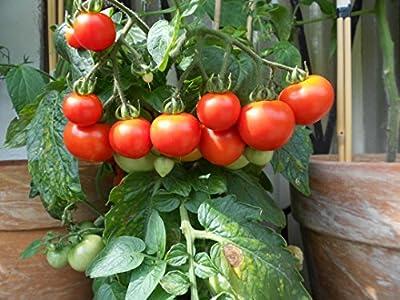 Balkon-Tomate >Sunny-Boy< Super Topftomate mit sehr gutem Ertrag an leckeren süßen Früchten von Samenchilishop - Du und dein Garten