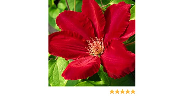 Clematis Rebecca plant in 3L pot with 3 cane