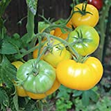 10 Samen Azoychka Tomate – Robuste russische Fleischtomate, Früchte bis 350g