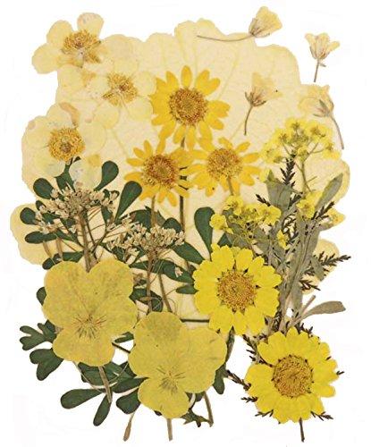 Mélange de fleurs pressées, pensée, marguerite, fleur de colza, alyssum, feuillage