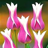 AIMADO sementi giardino -50pcs Raro Tulipano Doppio tulipani forme bizzarre e merlate Semi sementi fiori giardino resistenza al freddo Pianta perenne