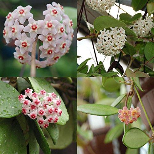 Hoya Collection - 4 Plantes