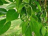 Portal Cool Ciano Rosa: semi di Ca da oppio lattuga papavero peperoncino rosa Albizia zucchine Fefferoni Lot