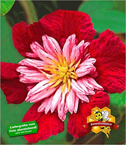 BALDUR-Garten Waldrebe Clematis 'Avant Garde TM' winterhart, 1 Pflanze Klematis mehrjährige...