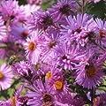 lichtnelke - Kissenaster (Aster dumosus) Herbstgruß vom Bresserhof ROSA von Lichtnelke Pflanzenversand - Du und dein Garten