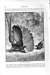 IMPRESSION DE L'HISTOIRE NATURELLE 1895 DE GIBIER À PLUMES DE FAISAN D'ARGUS