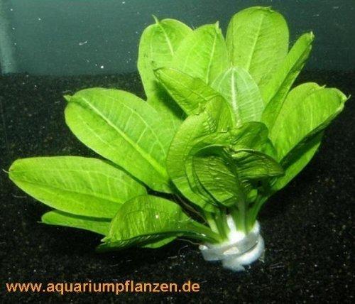 1 lose Echinodorus Tropica, kleine Schwertpflanze