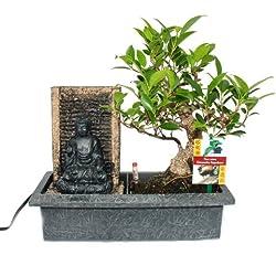 Bonsai Chinesischer Feigenbaum 6-7 Jahre mit Buddha-Brunnen