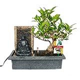 Bonsai Chinesischer Feigenbaum 6-7 Jahre mit