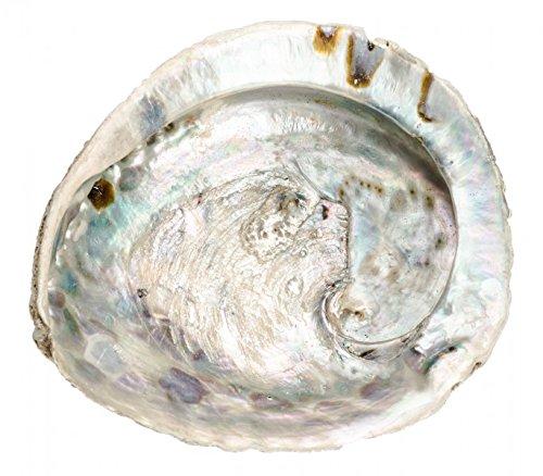 NaDeco® Haliotis midae ca. 12-16cm | Abalone Schnecke | Abalone Muschel | Seeopal | Meerohr | Räucherschele | Seifenschale