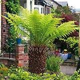 Beautytalk-Garten Boston Farn winterhart mehrjährig Pflanzensamen, Zimmerpflanzen Samen Kräuterpflanze bonsai exotische samen für Balkon, Garten