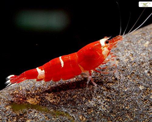 Garnelio - 5x Super Crystal Red Garnele - Caridina logemanni (Red Crystal Garnelen)