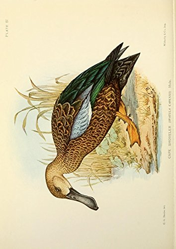 Sergeant Charles G. Davis - The Game-Birds & Water-Fowl of South Africa 1912 Cape Shoveler Kunstdruck (60,96 x 91,44 cm) -