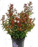 Abelia grandiflora 'Land Ladies`' Abelie - winterharter, wintergrüner, blühender Strauch 13 cm Topf