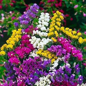 BloomGreen Co. Blumensamen: Statice Exotische Samen Pflanzen von Samen Garten [Home Garten Samen Eco-Pack] Pflanzensamen