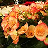 Fash Lady Schlussverkauf!100 Samen/Los MIX Begonia Samen 100% Wahre Malus Spectabilis Samen Topf Begonie Bonsai Pflanze Diy Samen