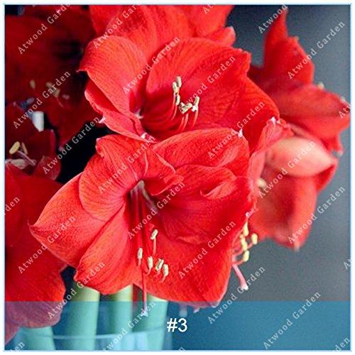 Galleria fotografica ZLKING 2pcs Lampadina Hippeastrum Bulbi Bonsai Amaryllis Giglio Bonsai Perenni fiore non sementi di alta Tasso di germinazione Casa Garden 3