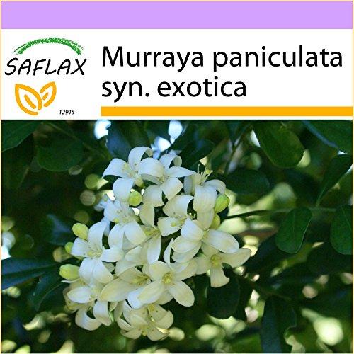 SAFLAX - Orangen - Jasmin - 12 Samen - Murraya paniculata syn. exotica