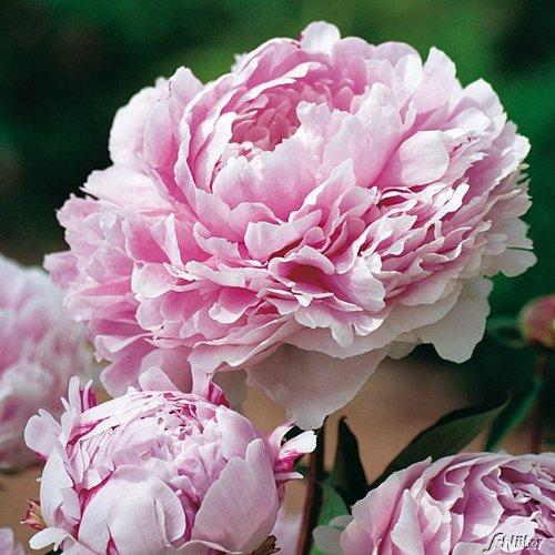 Pfingstrose Sarah Bernhardt - Rose stark duftend und winterhart -Paeonia lactiflora- Blüten der Blume hell-rosa - Pflanze von Garten Schlüter