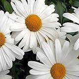 Leucanthemum x superbum - Margarita - Pot du 1Litre