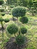 Groß Bonsai Ilex crenata Glorie Gem 100 cm hoch 6 Etagen mit Ballen