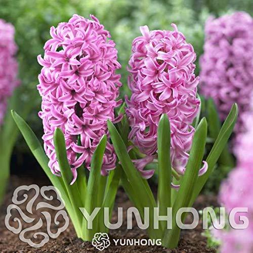 Green Seeds Co. Wahre Hyazinthe Glühbirnen, Wasserhyazinthe Blumenzwiebeln, mehrjährige Blumenzwiebeln, Bonsai Topf für Hausgarten Pflanzen – 1 Lampe: 5