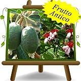 Piante Feijoa varietà Innestata Autofertile - 4 anni immagine