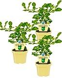 Bio zitronige Kaffir-Limette, (Citrus hystrix), Kräuter Pflanzen aus nachhaltigem Anbau (3 Pflanzen, je im 12cm Topf)