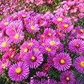 Kissenaster (Aster dumosus 'JENNY') von Lichtnelke Pflanzenversand - Du und dein Garten