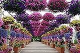 Fash Lady Semillas de Petunia Colgantes, Balcã³n en Maceta con Semillas de Flores de Petunia, Semillas del Paquete Original de Aproximadamente 100 PartãCulas