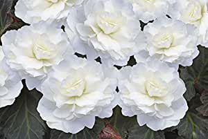 Fiore - Begonia - Nonstop Mocca Intenso Bianco F1 - 10 Semi Pellettati