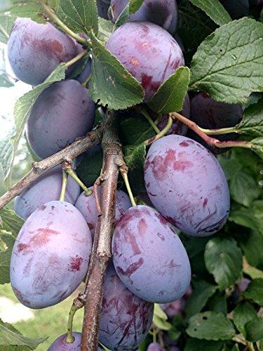 Hauszwetsche Pflaumenbaum selbstfruchtend Pflaume Obstbaum Zwetsche Halbstamm 150-170 cm