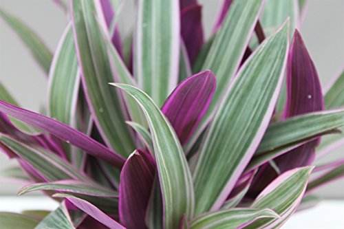 striking-variegated-houseplant-indoor-purple-inch-plant-colourful-conservatory-gift-plant-wandering-