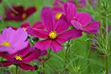 Premier Seeds Direct COS01F Cosmos Bipinnatus Dazzler Flower Seeds (Pack of 300)