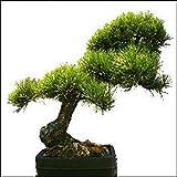 Tropica - Bonsai - Pino dorato (Pinus ponderosa) - 20-semi