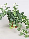 Efeu (Hedera helix), echte Pflanze, als Hängepflanze, Bodendecker oder Zimmerpflanze, pflegeleicht (im 13cm Topf, Sorte: Wonder, grünlaubig)