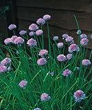 Erbe - Erba Cipollina Media Foglia - Allium schoenoprasum - 400 Semi - Confezione Risparmio
