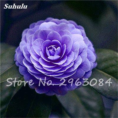 5 pièces rares Graines arc-en-Camellia fleurs, plantes en pot de bricolage, Lumière Parfumée Fleur intérieur, intérieur Bonsai planter des fleurs Semences 11