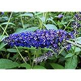 Butterfly Bush (Buddleja Davidii) Flower Plant Seeds, Perennial Heirloom